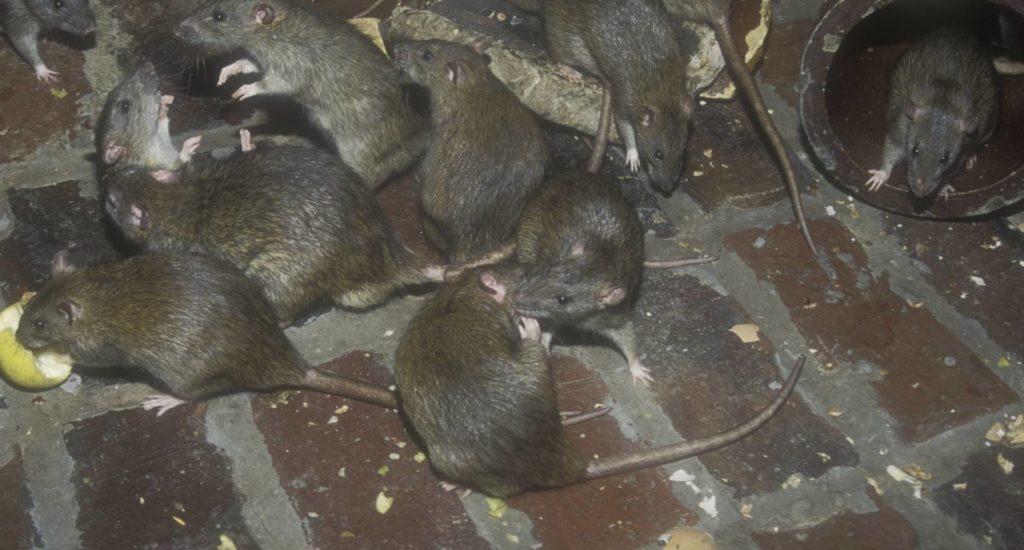 уничтожение крыс в Липецке